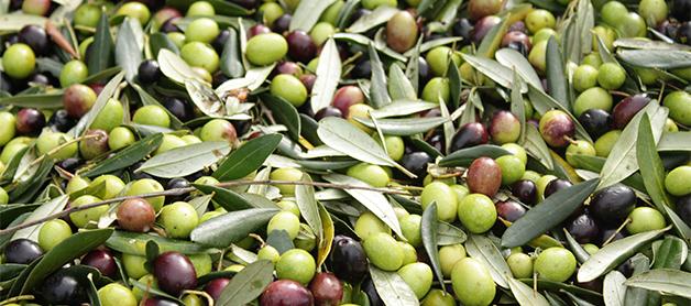 Dagli scarti dell'olio di oliva,<br/></noscript><img class=