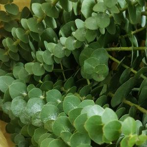foto eucalipto