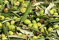 Tuscan organic extra virgin olive oil