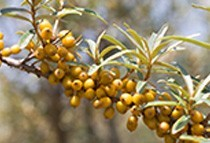 Biodynamic sea buckthorn oil