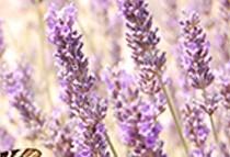 Organic lavender hydrolat
