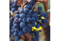 Organic grapes extract