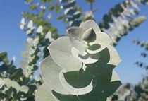Organic eucalyptus hydrolat