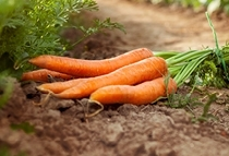 Oleolito di carota bio