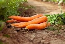 Organic carrot macerated oil