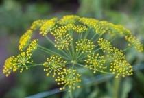Organic fennel extract