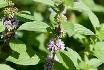 Organic mint extract