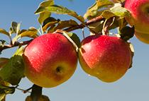 Organic apple extract