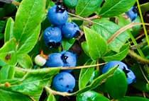 Organic blueberry extract